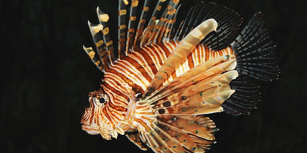 Common_lion_fish_Pterois_volitans_thumb220x110.jpg