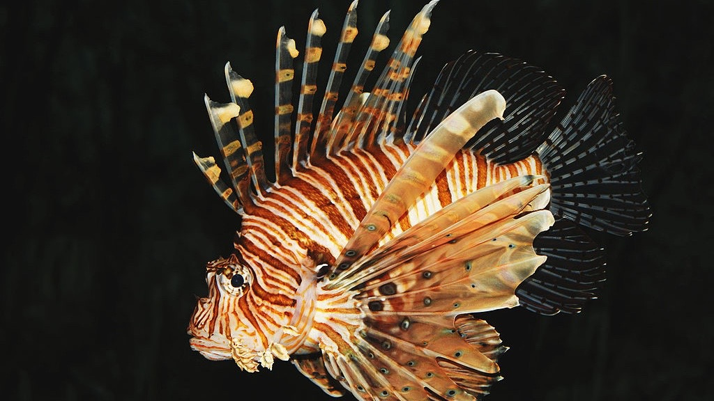 Common_lion_fish_Pterois_volitans_thumb800x450.jpg