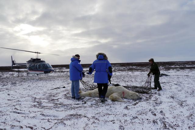 Polar Bear on Ground