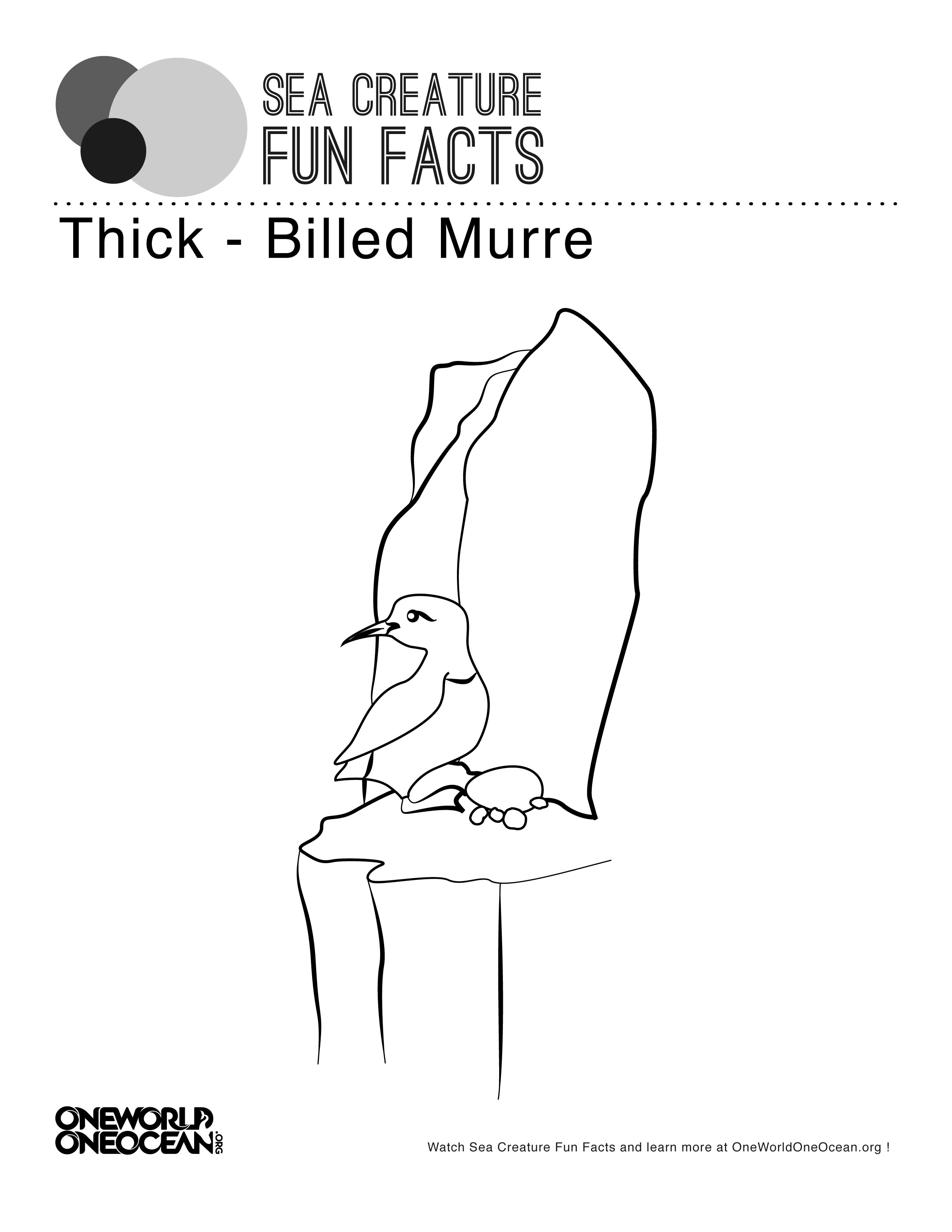 Thick Billed Murre Bird Color Page