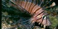 blue-zoo-lionfish-th.jpg