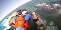 friendlies-gray-whales-san-ignacio-lagoon-th.jpg